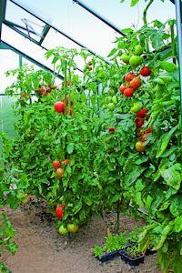 Sieben Tage Regenwetter? - Im Gewächshaus reifen Obst und Gemüse gut geschützt heran