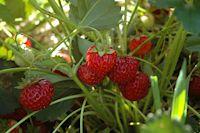 Wer die Hummibeere auf Balkon, Terrasse und Co pflanzt, hat auch lange etwas davon, denn ab Juni können die Früchte geerntet werden – und zwar durchgehend bis zum Frost!
